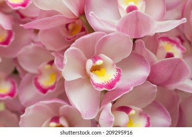 Flower of cymbidium