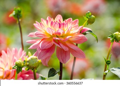 flower dahlia, beautiful summer scene, macro, garden flowers