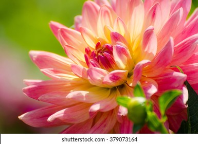 flower dahlia, beautiful summer scene, macro, flowerbed in garden, rose flower, tender pink petals