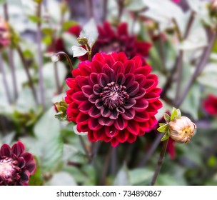 Flower dahlia dekorative Karma Choc in the garden  against a  blurred natural background close-up. Flower background