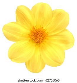 flower of dahlia on white background