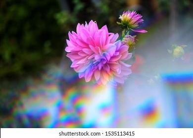 The flower of dahlias through the triangular prism