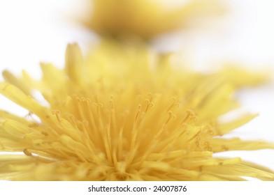 Flower of dandelion background macro