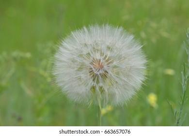 Flower - Dandelion Full