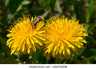 Flower dandelion gives a lot of pollen, which is collected insects.
