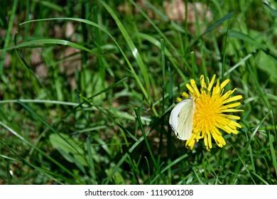 Flower of dandelion in grass with butterfly