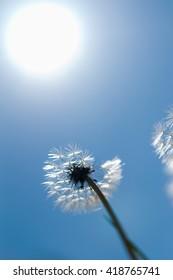 flower dandelion in green field