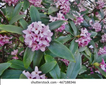 Flower of Daphne odora