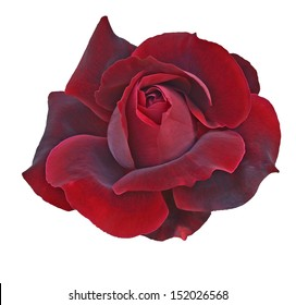 Flower of  dark red rose isolated on white