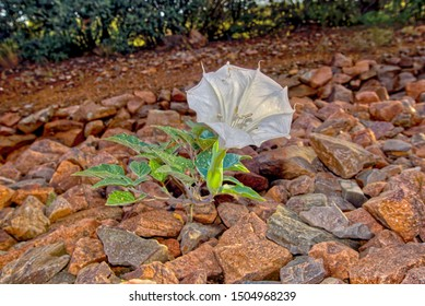 Flower of the Datura Stramonium, also known as Jimson Weed, Devil Snare, and Thorny Apple. It is a toxic invasive weed from Central America that has spread throughout North America.