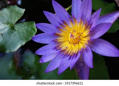 Flower of dawn, Blooming lotus, photo, macro,