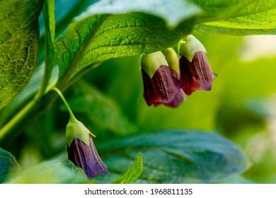 Flor de pesadilla mortal o ropa beladonna. Atropa beladonna es una planta herbácea perenne de la familia Solanaceae con un rizoma espeso y con varias cabezas.