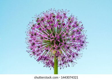 flower decorative bow with lilac petals in the shape of a ball with dew drops on a blue sky