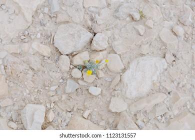 Flower in the desert. Beauty of nature
