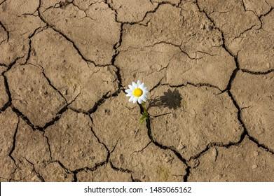 flower in the desert is dry land daisy.