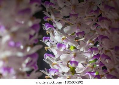 Flower detail of Species Orchid Rhynchostylis retusa