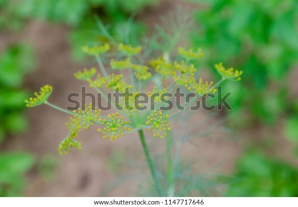 flower dill in the garden