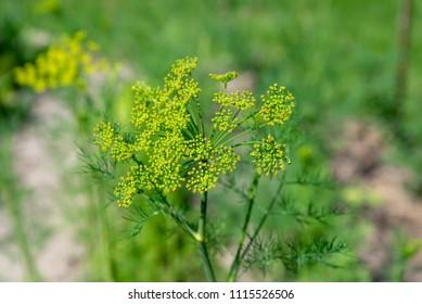 Flower of dill garden in spring. Shallow depth of field