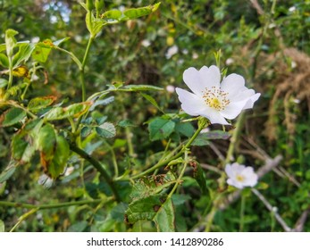 Flower of dog rose, Rosa canina, growing in Galicia, Spain