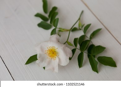 flower of a dogrose on a white background. flower on wooden background. rose in bloom