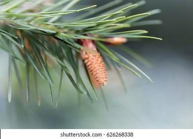 Flower of a douglas fir (Pseudotsuga menziesii)
