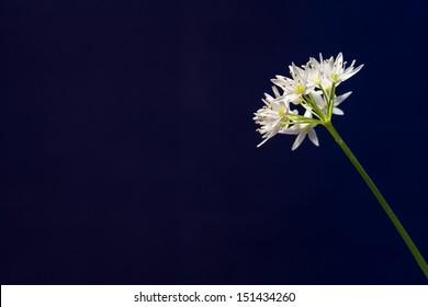 Flower of Edible Forest Plant Allium ursinum