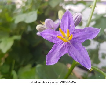 The flower is a eggplant flower