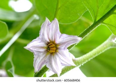 flower eggplant