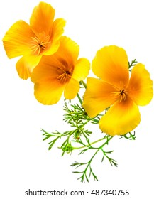 flower Eschscholzia californica (California poppy, golden poppy, California sunlight, cup of gold) isolated on white background shots in macro lens close-up
