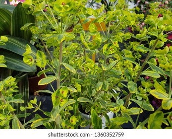 flower of euphorbia ascot
