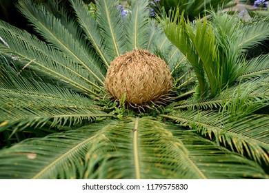 Flower of the female Sago palm, Cycas revoluta, encircled by glossy dark green foliage in Costa Rica / Central America.