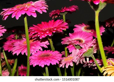 Flower Festival in Madeira, here an extraordinary perspective of pink gerberas