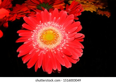 Flower Festival in Madeira, here a macro photography of a red gerbera