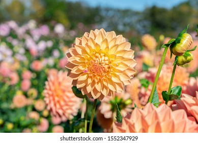 Flower field with lots of dahlia