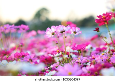 Flower Field, Pink flower Cosmos