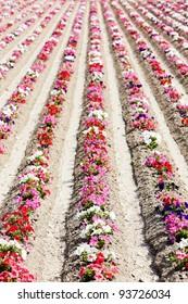 flower field, Provence, France