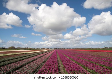 Flower field with purple tulips with a beautiful cloudy sky in the spring.