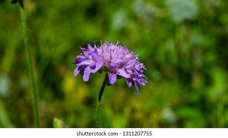 Flower of Field Scabious, Knautia Arvensis, with bokeh background macro, selective focus, shallow DOF