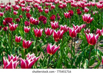 Flower field of white and rose tulips or glass lampshade. Grows in a botanic garden. Nature and relaxation. Dutch tulip.