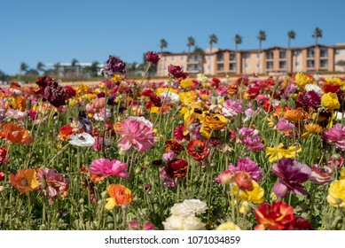 The Flower Fields at Carlsbad , California