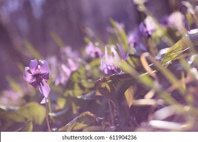 Flower fields, clusters, dogtooth violet, Erythronium japonicum, purple,