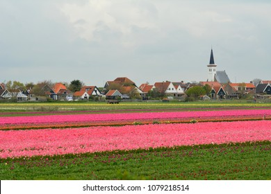 Flower fields with colourful tulips and church of Den Hoorn on isle Texel, Holland. Bollenvelden.
