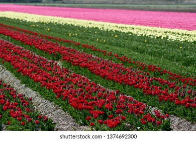 Flower fields with colourful tulips at Den Hoorn on isle Texel, Holland. Bollenvelden.