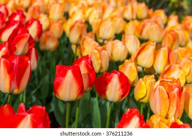 Flower fields with red striped and orange tulips in the garden