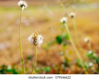 The flower fields Tridox procumbens distantly wind convergence