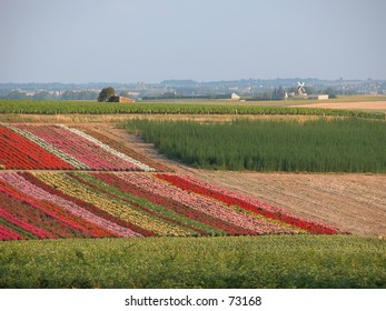 Flower fields with windmill. Not Holland, but France.