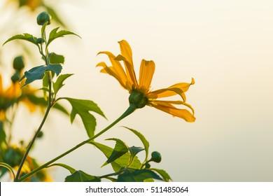 Flower fields,Tree marigold, Mexican tournesol, Mexican sunflower,
