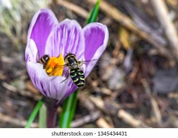 flower flies or syrphid flies and flower