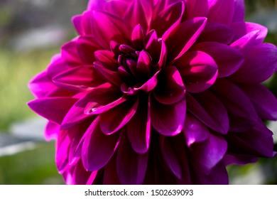flower flowers beautiful nature world fon fone green dew chryzanthenum background skreensaver sun  field garden house amazing day morning rain heat relax recreation foto canon petals dawn beauty fairy