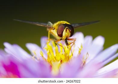 Flower fly Eristalis tenax eat blossom dust